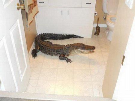 Двухметровый аллигатор заполз в гости [8 фото]