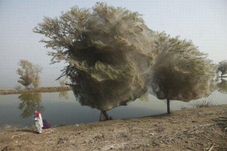 Нашествие пауков в Пакистане [8 фото]