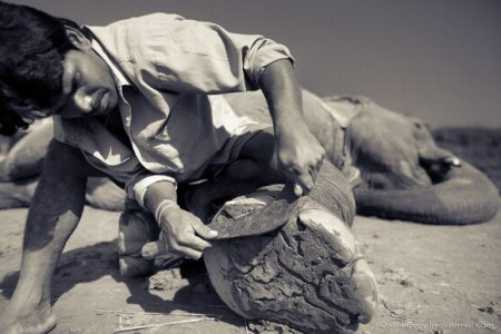 Слон тоже любит маникюр [5 фото]