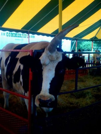 Корова с одним рогом [5 фото]