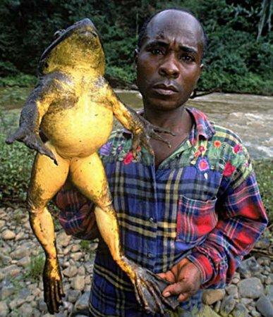 Огромные лягушки [3 фото]