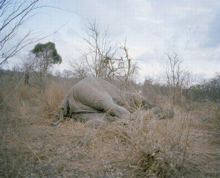 Куда исчезают мертвые слоны Зимбабве? [9 фото]