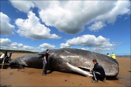 На пляж Кливленда выбросило 20-ти тонного кита [6 фото]