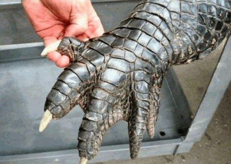Огромный аллигатор из Флориды [10 фото]