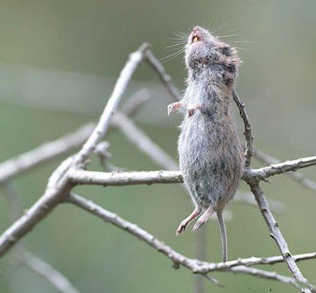 Сорокопут – маленькая птичка изверг