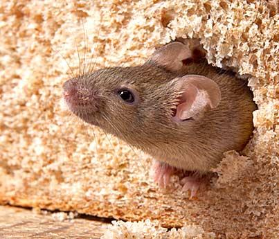 Живая мышь в батоне