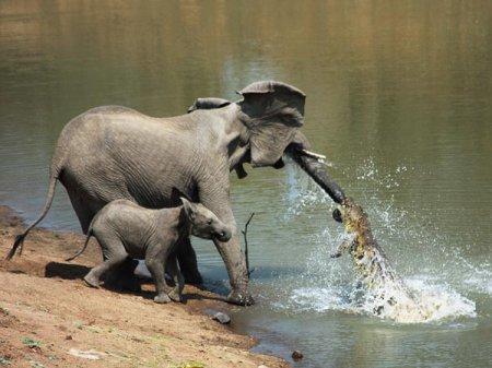 Крокодил напал на слона [4 фото]