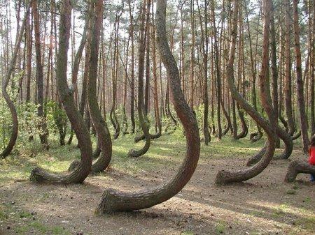 """Кривой лес"""