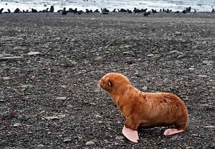 Тюлень с необычным окрасом [2 фото]