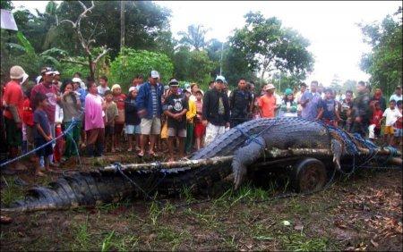 Огромный крокодил пойман на Филиппинах [4 фото]
