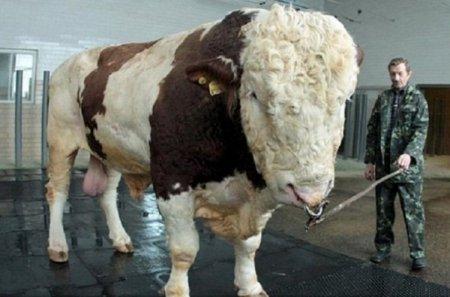 Самый большой бык [3 фото]