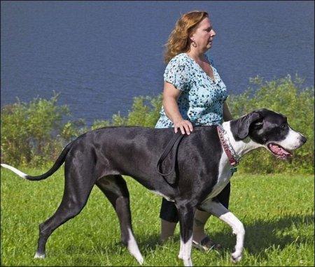 Собака Нова - самая высокая собака в мире [4 фото]