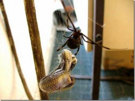 Паук поймал в свою паутину змею [6 фото]