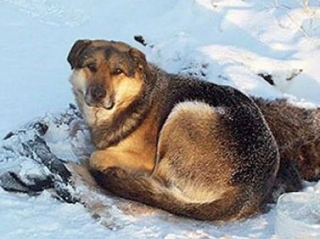 Якутский Хатико – преданный своей подруге пес