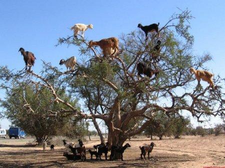 Козы, которые лазят по деревьям [10 фото]